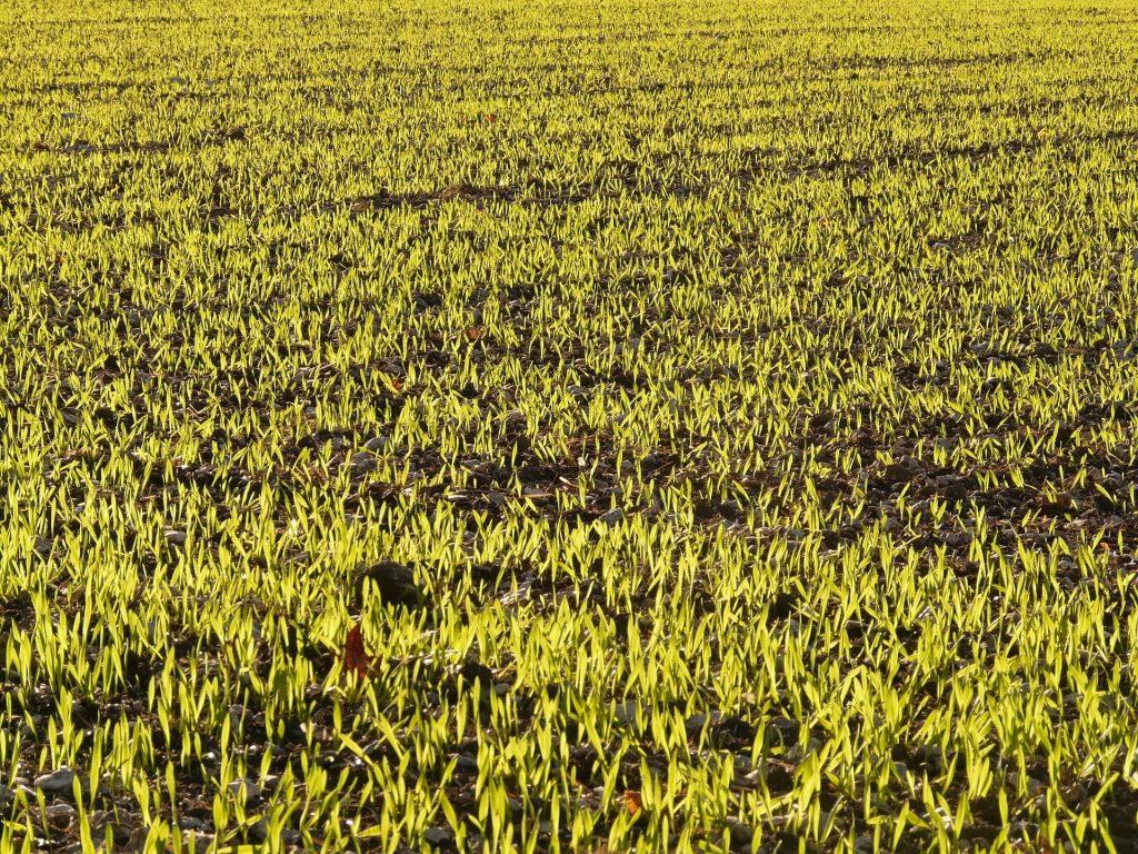 winter-barley-10437_1920